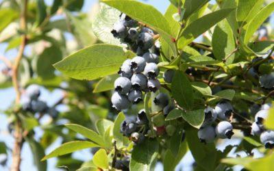 Blauwe bessenplantjes
